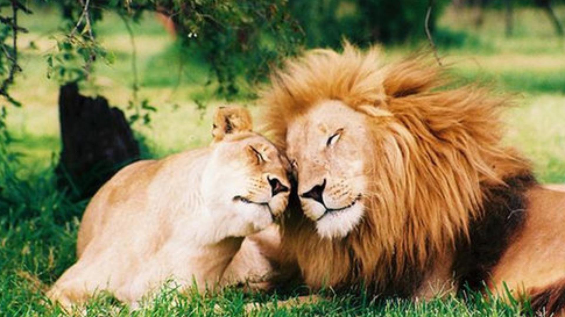 ライオンのメスから学ぶ オスの誘い方